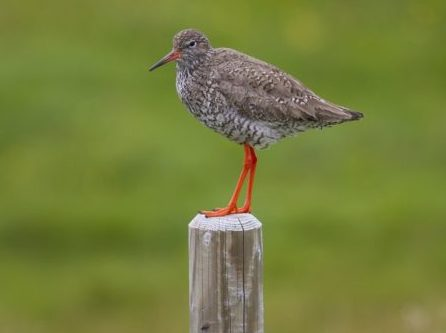 Redshank on a wooden post