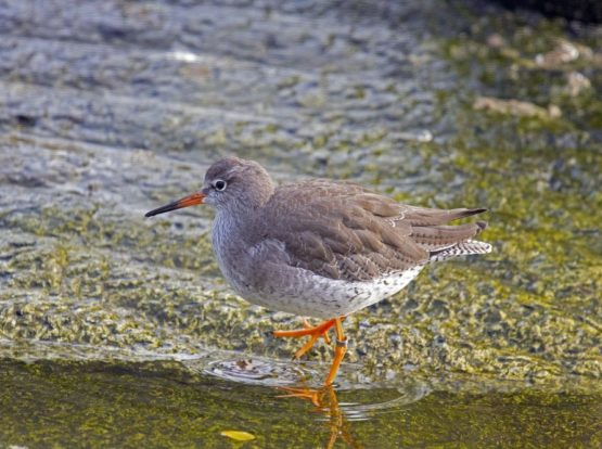 Redshank by water