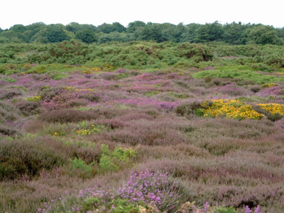 A photo of heather, gorse and pine trees