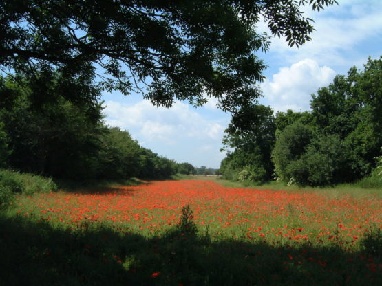 Landscape view of poppies