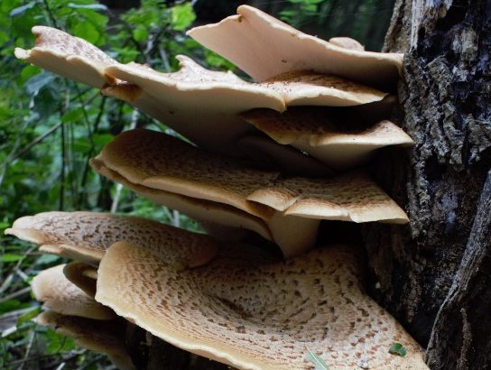 A close-up photo of mushrooms on a tree trunk