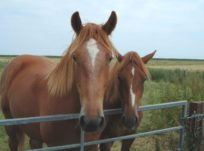 Two horses by a fence